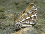Bupalus piniaria